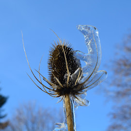 A thistle incased in ice by Denton Thaves - Nature Up Close Leaves & Grasses ( thistle, ice )