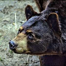 Maine Brown Bear by Catherine Melvin - Animals Other Mammals ( heartfelt emotion, bear, expression, emotional, beautiful, anilmal )