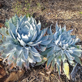 Two Succulents by Gail Marsella - Nature Up Close Gardens & Produce ( plant, green, san diego botanical garden, brown, stones )