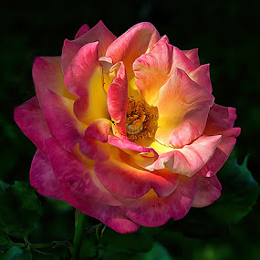 Sunburst Rose by Dave . - Nature Up Close Flowers - 2011-2013 ( plant, rose, red, nature, bloom, yellow, flower, blossom )