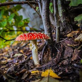Autumn leaves and mushroom ... by Sakari Partio - Nature Up Close Mushrooms & Fungi