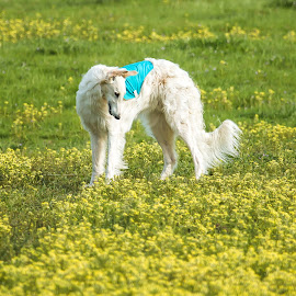 Tall among the flowers by Karin Bennett - Animals - Dogs Portraits ( dogs, flowers, running, borzoi )