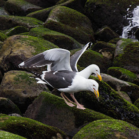 Sea gulls by Mi Mundo - Animals Birds ( gull, sea gull, gulls )