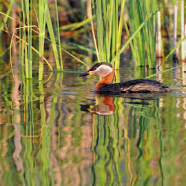 Duck by Tomasz Budziak - Animals Birds ( bird, animals, duck,  )