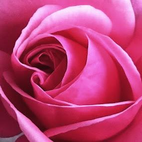 Rose by Marcia Gain - Flowers Single Flower (  )