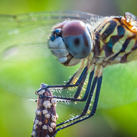 Dragonfly by Jerrid Ball - Animals Insects & Spiders ( canon, macro, dragon fly, bugs, 85mm, canon photography, dragonfly, insects, close up, 50d, oudoors )