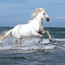 Rameses by Helen Matten - Animals Horses ( galloping, water, stallion, wild, horses, camargue, white, sea, beach,  )