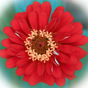 Red Zinnia by Jennifer  Loper  - Flowers Single Flower ( red, star shaped, green, white, yellow )