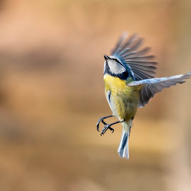 Cinciarella by Stefano Pretti - Animals Birds ( bird, nature, cinciarella, wildlife )