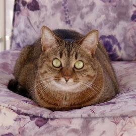 Loca Staring by Barry Lehman - Animals - Cats Portraits ( cat, portrait, eyes )