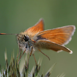 Ouch! by Chrissie Barrow - Animals Insects & Spiders ( orange, butterfly, thistle, spikes, green, antennae, insect, small skipper, bokeh, prickles, wings, legs, animal, eye )