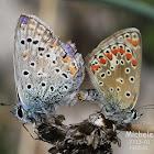 Farfalle in copula