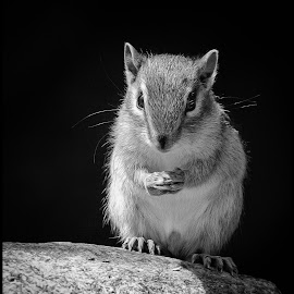 Chipmunk by Dave Lipchen - Black & White Animals ( chipmunk )