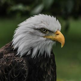Dollar by Garry Chisholm - Animals Birds ( bird, nature, bald eagle, prey, raptor )
