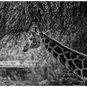 giraffe by Baidyanath Arya - Animals Other ( giraffe )