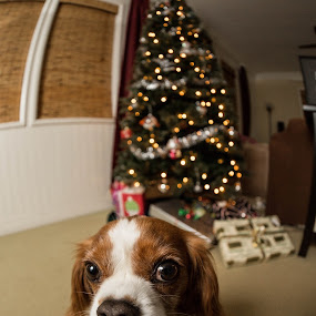 by Glenn Clancy - Animals - Dogs Portraits ( holiday, fisheye, cecil, christmas, king charles spaniel )