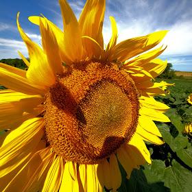 1_Sunflowers_C.jpg