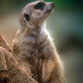 still alert by BO LED - Animals Other Mammals ( nature, suricate, mammal, animal )