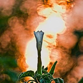 Rising Star by Biraj Dutta - Nature Up Close Flowers - 2011-2013 ( water, orange, white flower, orange flower, sun, flower )