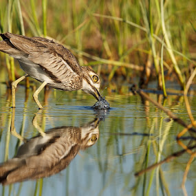 Water thick-knee with reflection in water by Tobie Oosthuizen - Animals Birds ( ground bird, [gewone dikkop], spotted thick-knee, thick-knees, {burhinus capensis}, birds, knp_des2011 )