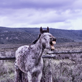Hee Haw by Gwen Paton - Animals Horses ( great american horse drive, donkey, craig co, colorado )