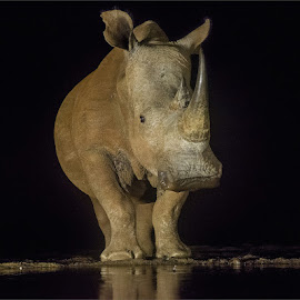 Late night Rhino by Efraim van der Walt - Animals Other Mammals ( night pkotography, wild, animals, big 5, rhino )