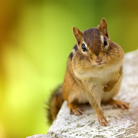Chipmunk by Herb Houghton - Animals Other Mammals ( rodents )