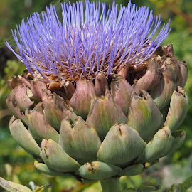 Artichoke Head by Gillian James - Nature Up Close Gardens & Produce ( artichoke, allotment, vegetable, garden, flower )
