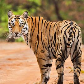 Queen of Bandhavgarh by Shashikant Kamath - Animals Lions, Tigers & Big Cats ( wildlife in kabini, yoshila, wildlife, tigers, sukhi patiha female )