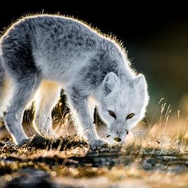 by Trond Eriksen - Animals Other Mammals ( fox, arctic fox, rimlight,  )