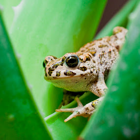frog on the aloe leaf by Vincenzo Bernardi - Animals Amphibians ( plant, succulent, frog, botany, treatment, drop, purity, leaf, beauty, macro, healthcare system, nature, agave, vera, care, ingredient, medicine, dermatology, healthcare, white., portion, isolated, animals, flora, bagnato, green, white, amphibian, alternative, white background, health, close-up, aloe, aloe-vera, herb, background, sliced, pwcmovinganimals, healthy, herbal, part, gel, cosmetic, cactus,  )