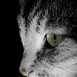 *** by Jurijs Ratanins - Animals - Cats Portraits ( look, mobilography, cat, pet, portrait, animal )