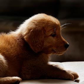 Golden by Cristobal Garciaferro Rubio - Animals - Dogs Puppies ( puppie, beauty, dog, golden, golden retriever )