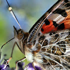 Butterfly, painted lady