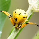White Banded Crab Spider