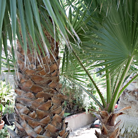Close up of Palm Trees by Sherry Hallemeier - Nature Up Close Trees & Bushes ( photograph, california, palm trees, summer, trees, backyard, landscape, spring, photo, garden, close up, photography )