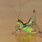 Katydid or Bush cricket