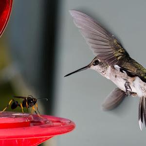 hummingbirdsatwar.jpg
