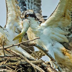 Give it back..... by Ioannis Alexander - Animals Birds ( prey and predator, wildlife, osprey,  )