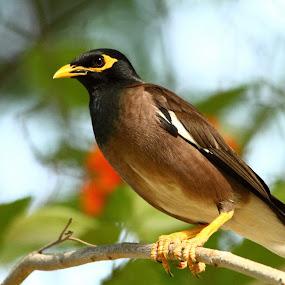 myna by Syam Alendu Nair - Animals Birds