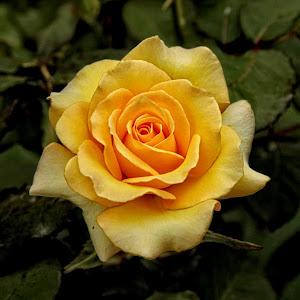 GOR rose 131 16.jpg
