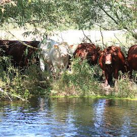 Cows by Garry Warren - Animals Other Mammals ( herd, graze, summer, cow, river )