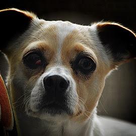 Chico by Rebecca Frank-Rusnak - Animals - Dogs Portraits ( white dog, puppy, dog, boy, tan, portrait )