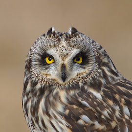 Short-eared Owl by Hans Olav Beck - Animals Birds ( wild, wilderness, mountain, pring, april, norway, short-eared owl )