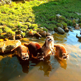 racoon by Redski Pictures - Animals Other ( water, racoon, animals, grass, wash bear, sun )
