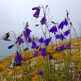 Foggy Day Harebells by Sandra Updyke - Nature Up Close Other plants ( harebells, lichens, fog, lake superior, flowers )