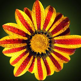 beautiful gazania by LADOCKi Elvira - Flowers Single Flower ( flowers )