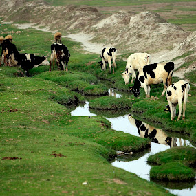 time to take the breakfast by Cristobal Garciaferro Rubio - Animals Other ( reflection, grass, cow, cows, river )