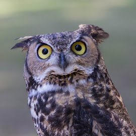 Great Horned Owl by Janet Marsh - Animals Birds ( great horned owl sulfur creek, sulfur creek,  )