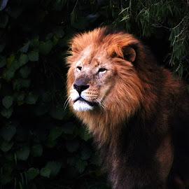 portrait   by Zhenya Philip - Animals Lions, Tigers & Big Cats